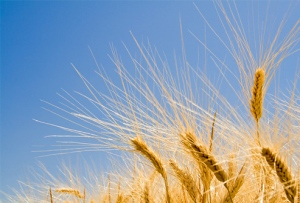 istock_photo_of_ripe_wheat